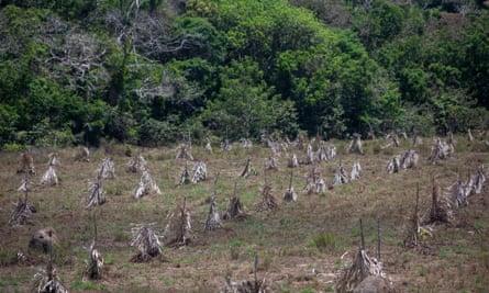 Planting of cumaru seedlings for reforestation.