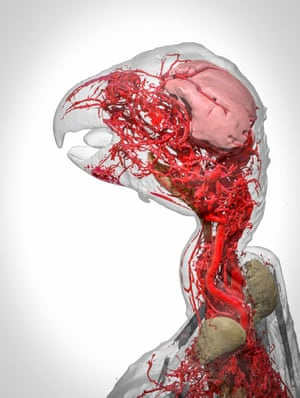 A stunning view of the blood vessels of the African grey parrot, this 3D model was produced through computer modelling of 2D CT scans. The scans were captured by means of the same novel contrast agent developed by Scott Echols - creator of the earlier pigeon image.