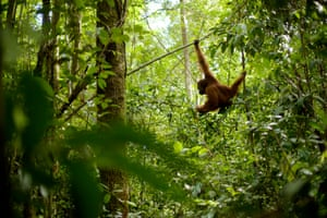 An orangutan in Gulung Palung national park, Borneo