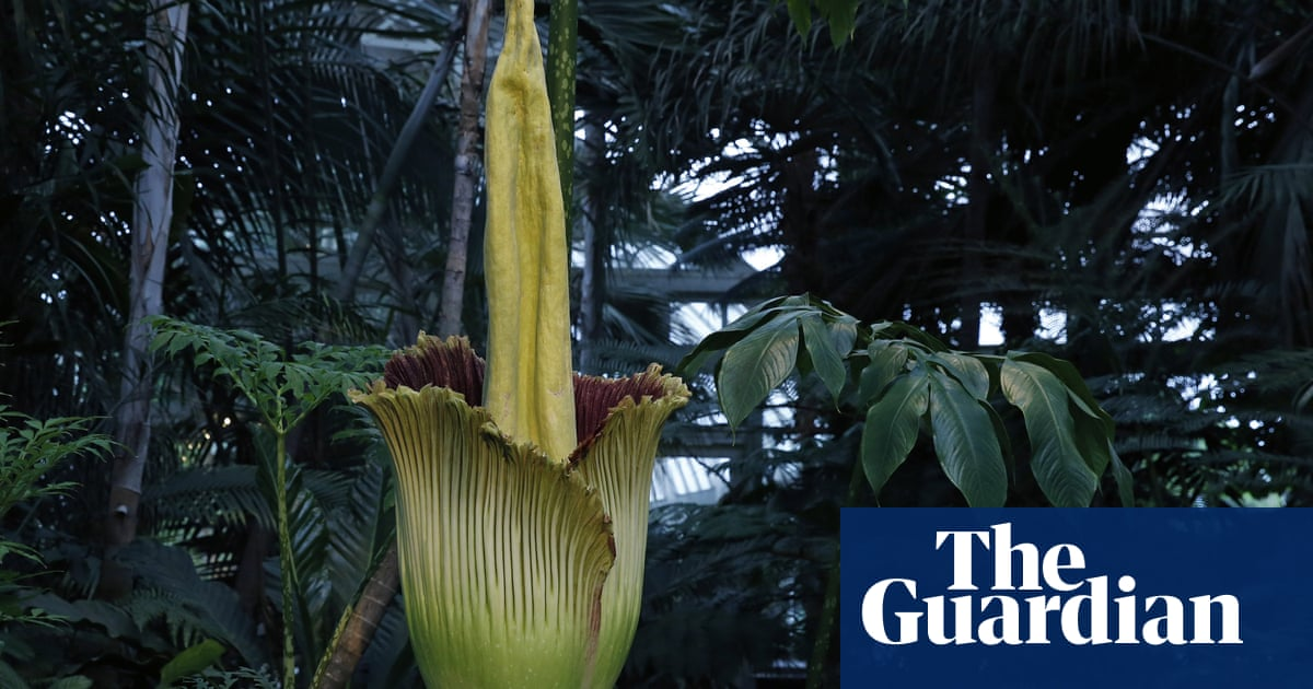 Fatal attraction: rare corpse flower draws hundreds of onlookers