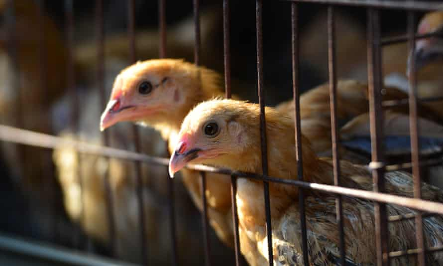 Chickens on a poultry farm in China