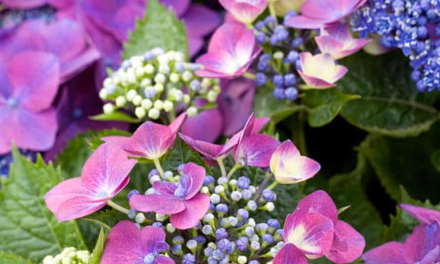 Plant hydrangea 'Kardinal Violet'