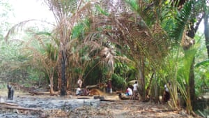 Groves of sago palm (Cycas revoluta), pictured, are being destroyed in West Papua to make way for oil palms.