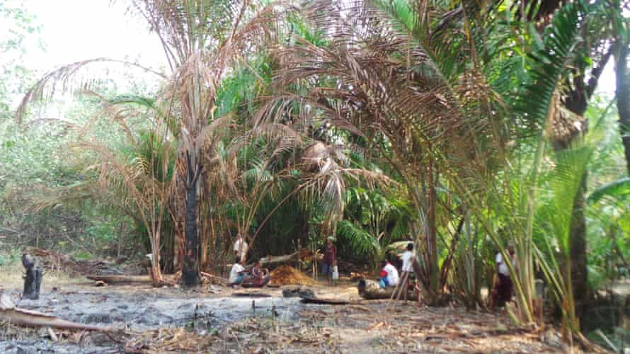 Groves of sago palm (Metroxylon sagu Rottboell), pictured, are being destroyed in West Papua to make way for oil palms.
