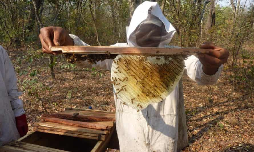 An employee of social enterprise Mama Buci collects honey in the virgin miombo forests of Zambia