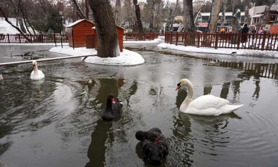Swans in Ankara's Kugulu Park.