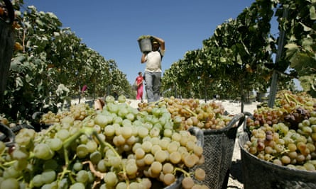 A worker picks grapes at a vineyard in Jerez