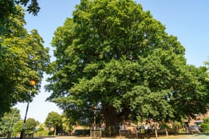 The Grantham Oak in Lincolnshire. Plonked in a suburban street, this giant was here centuries before its neighbours. Last year its future looked doubtful because of groundworks near its roots. Thanks to support from the local council and campaigners, however, works have taken place to add a cordon and protective surface around the tree so it can outlive us all