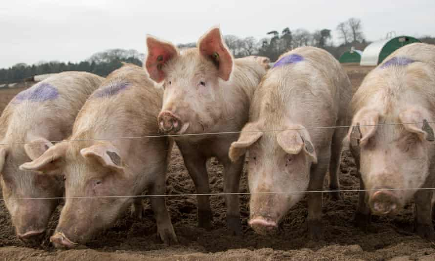 A free-range pig farm in Shottisham, Suffolk