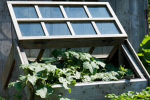 Open cold frame with cucumber plant
