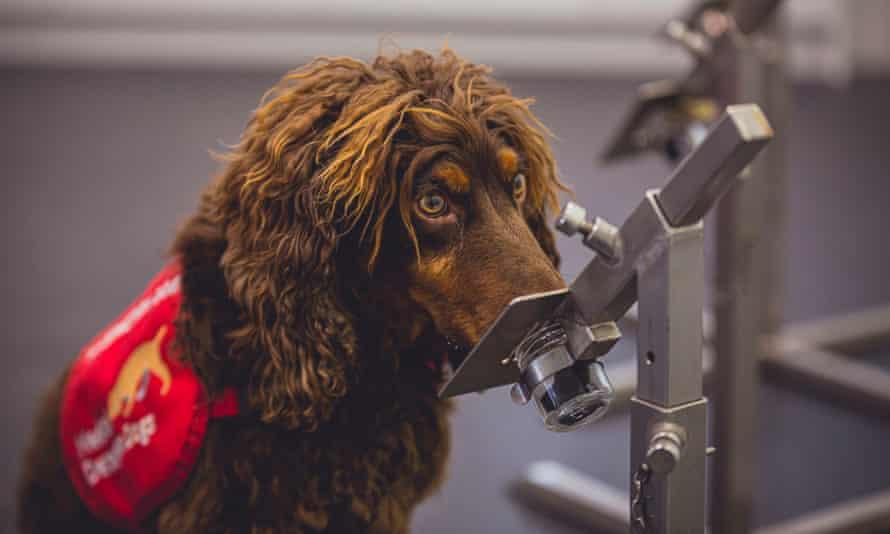 wide-eyed detection dog