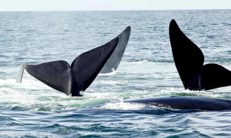 Mating North Atlantic right whales in the Bay of Fundy, New Brunswick, Canada