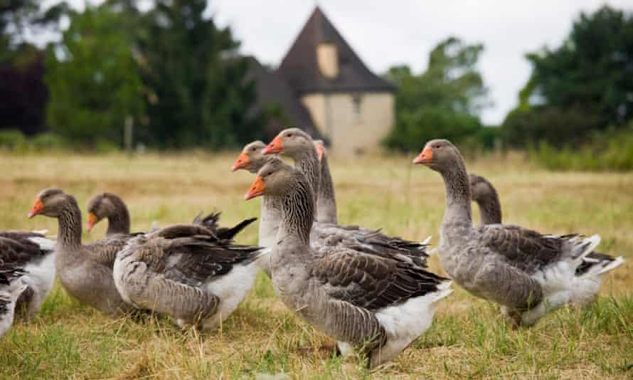 Geese for Foie Gras, Dordogne, France