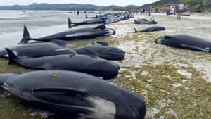 Pilot whales beached at Farewell Spit at the northern tip of New Zealand's South Island
