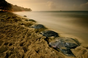 Leatherback Turtles nesting on the island of Trinindad, off the Venezuelan coast