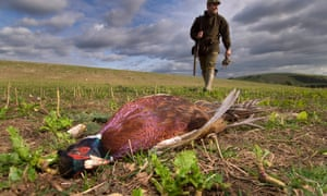 Pheasant shooting in West Sussex.