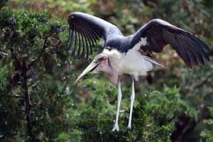 A marabou stork bird (leptoptilos crumenifer) lands on top of a tree in Nairobi, Kenya.