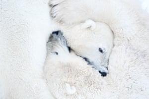 Hugging polar bears at Wapusk national park in Manitoba, Canada