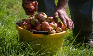 Picker's hands with bucket of cider apples