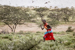A Samburu boy uses a stick to try and disturb a swarm of desert locusts as he herds his camels near the village of Sissia, Kenya