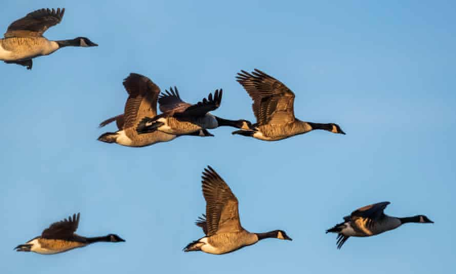 Canada geese at a Wildfowl & Wetlands Trust site in Caerlaverock, Scotland