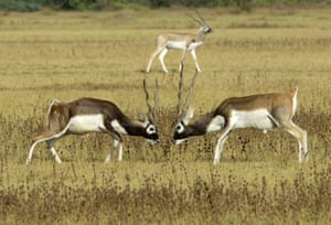 A pair of blackbucks, also known as the Indian antelope tussle in a field at Kadi Taluka, Gujarat, India