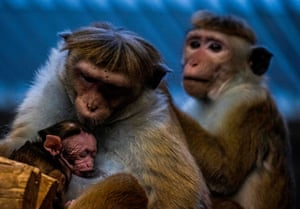 A toque macaque monkey feeds her young in her enclosure at Berlin Zoological Garden