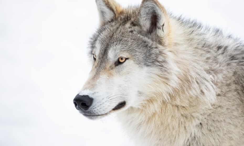 'Before regulators could shut down the hunt, 216 wolves had been killed – overshooting the quota by 83%.'