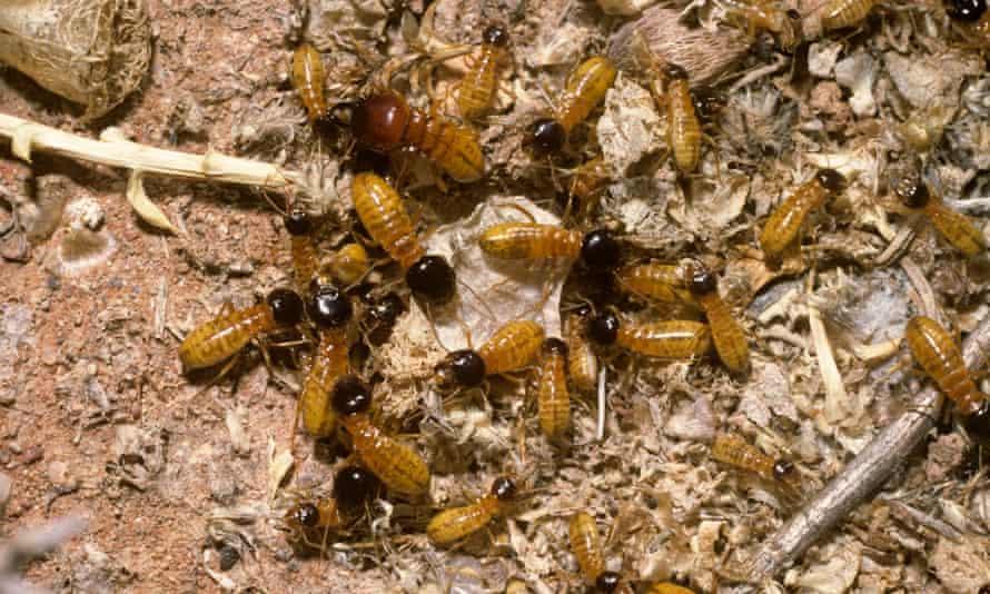 Harvester termite workers.