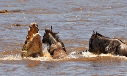 A crocodile attacks wildebeest crossing the Mara river.