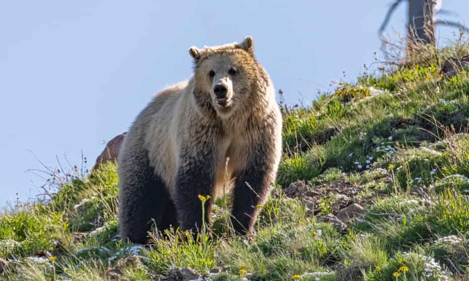 A female grizzly in Yellowstone.  Millions of tourists visit the park, known for its wildlife and spectacular geysers, each year, with a record 921,844 visitors this August.