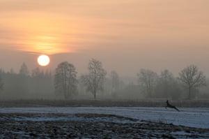 A deer jumps through a field at sunrise in Popielarze village near Warsaw, Poland