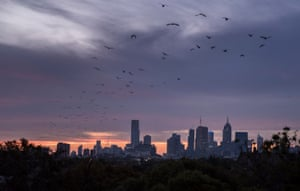 The Yarra Bend Park grey-headed flying fox colony takes flight over Melbourne.