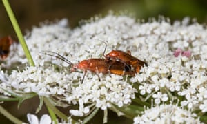 Common red soldier beetles copulating on hogweed flowers