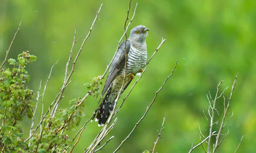Cuckoo in the grass