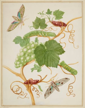 Grape vine with vine sphinx moth and satellite sphinx moth (1702-03)