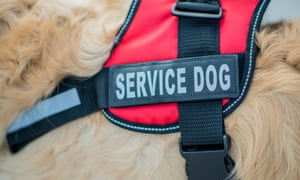 A golden retriever dog wears a service dog harness