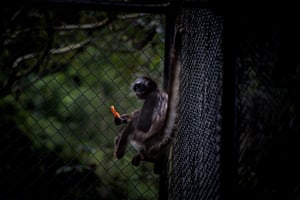 A brown-headed spider monkey
