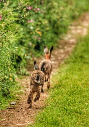 Hares runningYoung hares running away when they spotted me sigh my camera Photograph: Sighthound2017/GuardianWitness