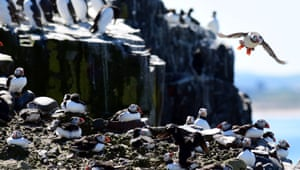 The 'Puffin Census' commenced this week on the Farne islands off the Northumberland coast