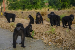 A herd of Sulawesi Black Apes (Macaca tonkeana) waiting for passersby to provide food on the Trans Sulawesi road section, Parigi Moutong regency, Central Sulawesi