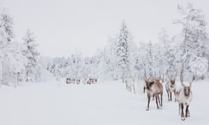 Reindeer herd north of Inari.