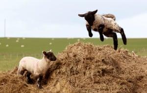 Lambs enjoying the spring weather in Lanarkshire, Scotland.