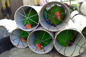Eclectus parrots found in a raid in Labuha, Indonesia, after smugglers allegedly stuffed 125 exotic birds inside drain pipes