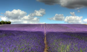 As clouds billow across a blue sky, a field of lavender at Hitchin Lavender, an attraction in Hertfordshire, England, UK.