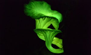 fungal luciferin