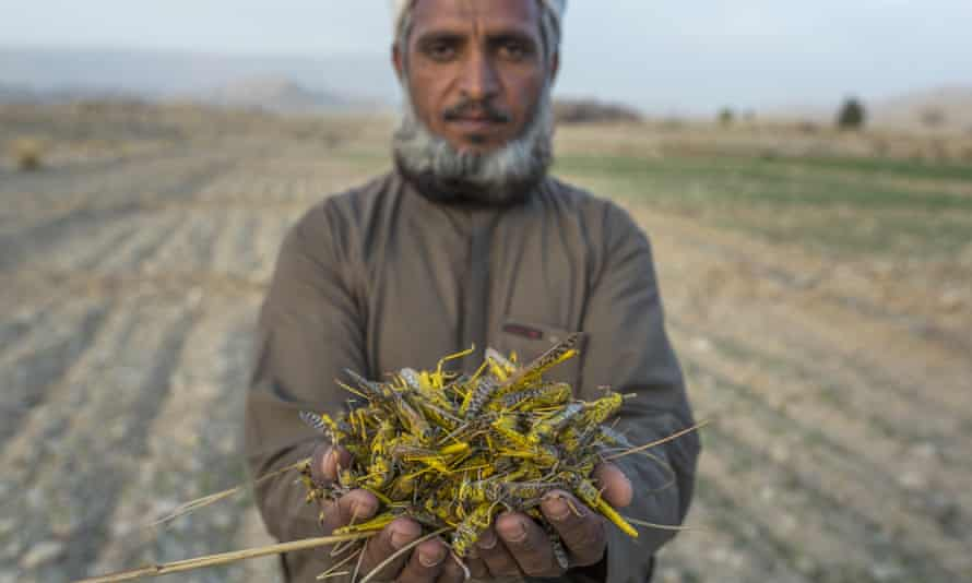 A farmer whose wheat crop was wiped out by locusts in Balochistan province