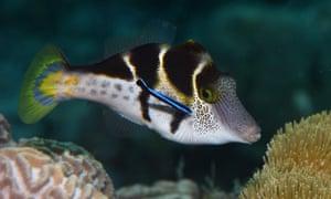 A blacksaddle filefish