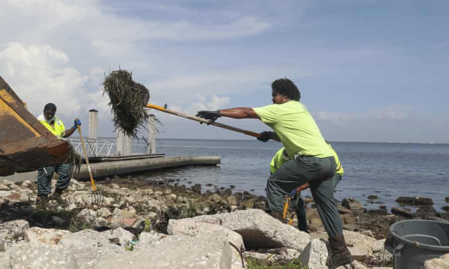 St Petersburg city employees clean up a fish kill from red tide along a waterfront park earlier this month.