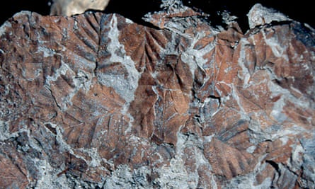 Leaves of the extinct southern beech (Nothofagus beardmorensi) found at Oliver Bluffs, in the Transantarctic mountains, Antarctica.